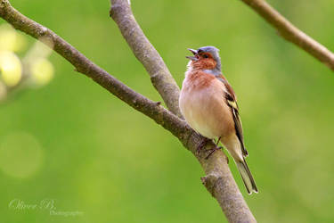 Singing Male Chaffinch by OliverBPhotography