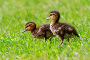 Ducklings by OliverBPhotography