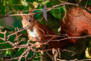 Red Squirrel by OliverBPhotography