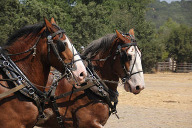 Clydesdales 09 by GingerFox-Stock