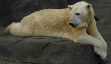 709 - polar bear by WolfC-Stock