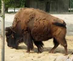 728 - buffalo by WolfC-Stock