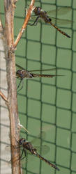 737 - dragonflies by WolfC-Stock