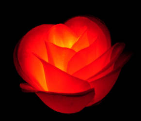 753 - rose glow by WolfC-Stock