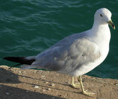 52 - gull by WolfC-Stock