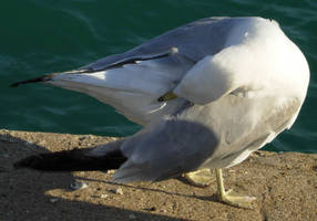 53 - gull by WolfC-Stock