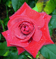 269 - rose by WolfC-Stock