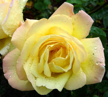 271 - rose by WolfC-Stock
