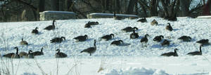660 - gooses by WolfC-Stock