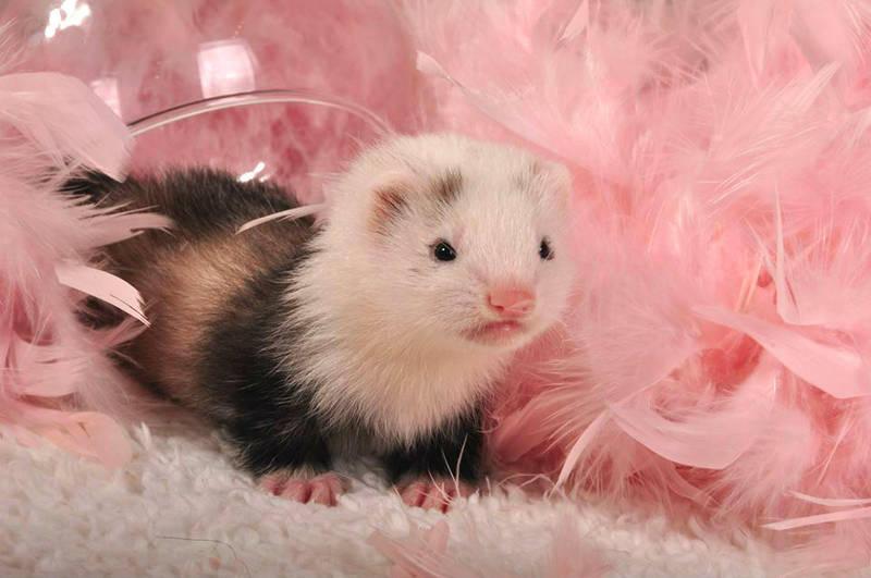 New baby ferret by Aya-Lunar