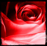 Red Rose by Miss-Shady