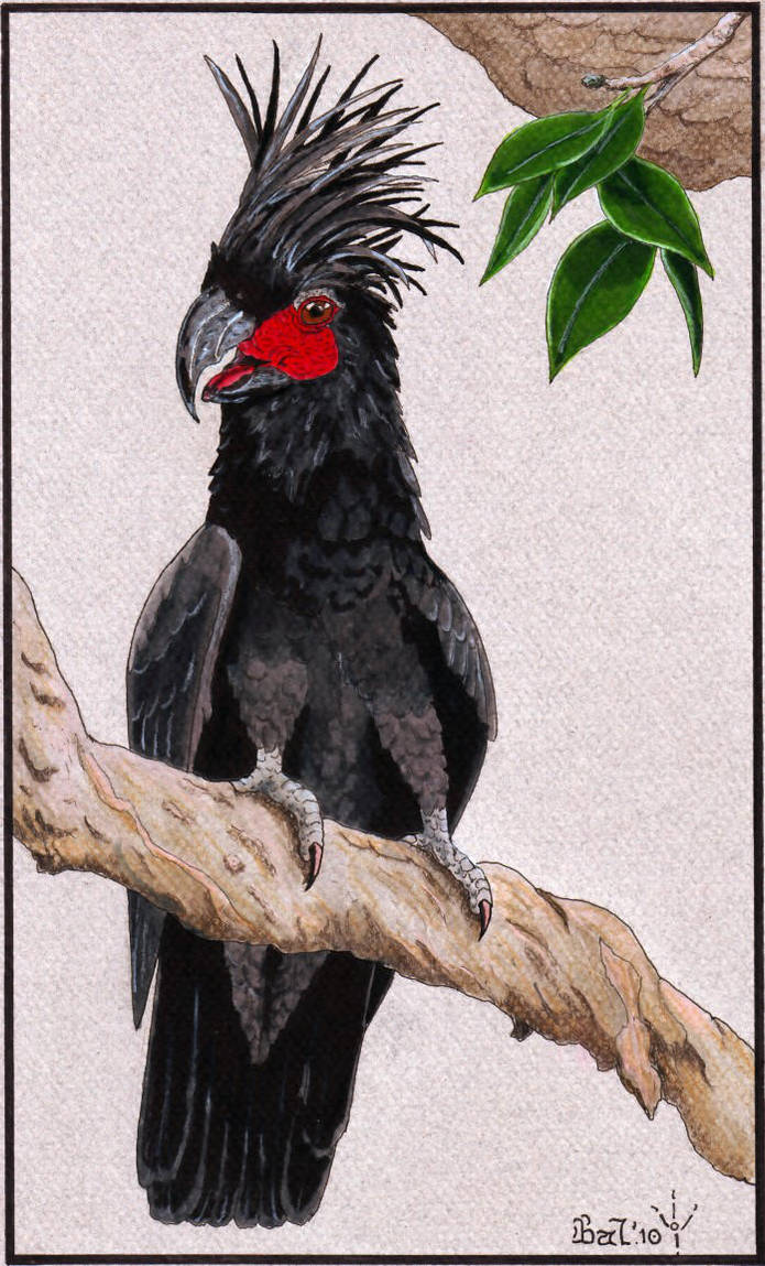 Palm Cockatoo by Bal-burd