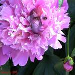 My Pink Peony Bush by LlolaLane
