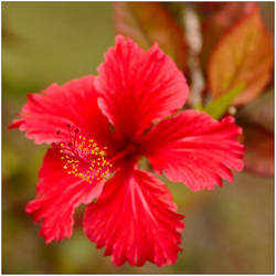 Hibiscus 3 by wildplaces