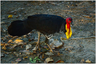 Brush turkey by wildplaces