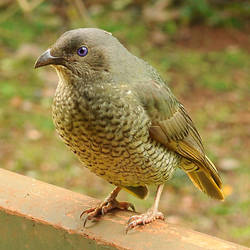 Female satin bower bird 1 by wildplaces