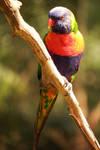 Rainbow lorikeet 5 by wildplaces