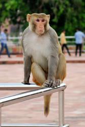 Taj Mahal monkey 3 by wildplaces