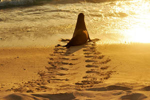 Sunset sea lion re-entry - Galapagos by wildplaces