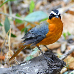 White-browed Robin-chat - Botswana by wildplaces