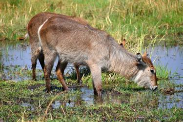 Two waterbuck - Khwai River, Botswana by wildplaces