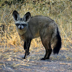 Bat-eared fox - Botswana by wildplaces