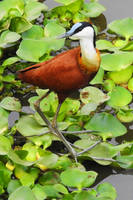 African jacana 1 - Maramba River, Zambia by wildplaces