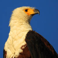 African fish eagle 2 - Botswana by wildplaces