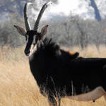 Sable antelope 2 - Zimbabwe by wildplaces