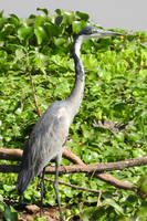 Black-headed heron - Zambia by wildplaces
