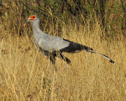 Secretary bird 2 - Zimbabwe by wildplaces
