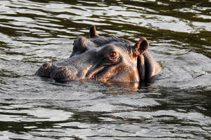 Hippo eyes 2 - Zambezi by wildplaces