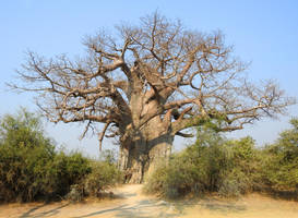 Baobab tree 1 - Namibia by wildplaces