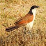 Coppery-tailed coucal - Botswana by wildplaces