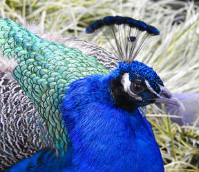 Peacock 1 - Namibia by wildplaces