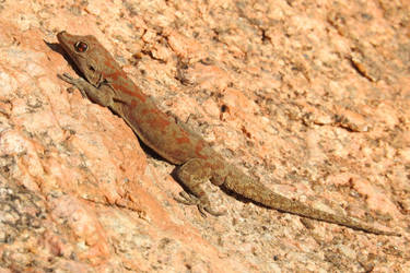 Gecko 1 - Damaraland, Namibia by wildplaces