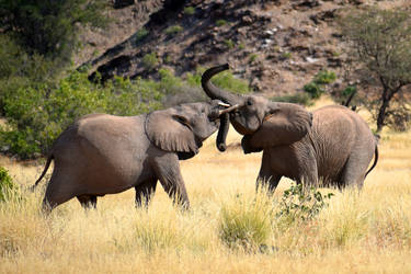 Adolescent elephant rumble 1 - Namibia by wildplaces