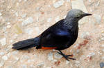 Female red-winged starling - Table Mountain by wildplaces