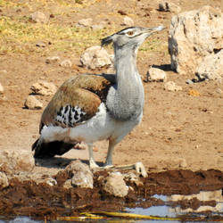 Kori bustard at Onguma waterhole - Namibia by wildplaces