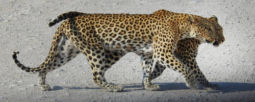 Pair of leopards 1 - Namibia by wildplaces