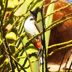 Red-whiskered bulbul 2 - Mauritius by wildplaces