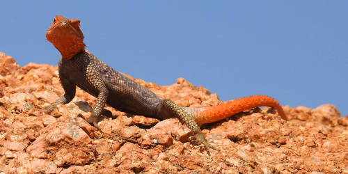 Agama lizard 1 - Namibia by wildplaces