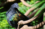 Nicobar Pigeon 2 - South Africa by wildplaces