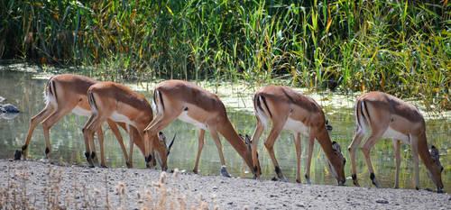 Impala quintet - Onguma, Namibia by wildplaces