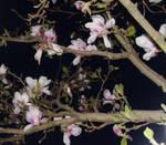 Magnolias at Midnight... by Llywenlla