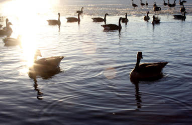 Geese by Gizmo562