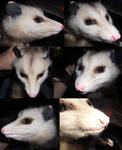 Virginia Opossum head reference by Sharpe19