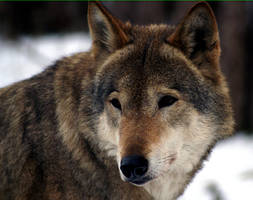 Wolf by Nickdan