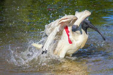 Bathing Ibis by zorroa3