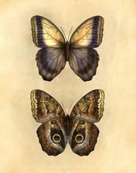 Caligo oedipus by Equal-Night